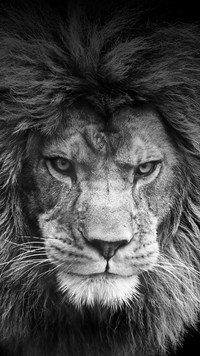 Samsung Galaxy Note 3 Neo Wallpapers Black White Lion Android Wallpapers