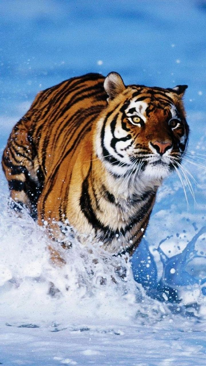 Samsung Galaxy J3 Wallpapers Water Tigers Android Wallpapers